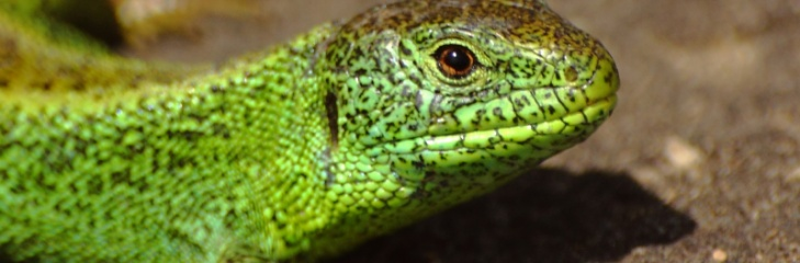 Lizards threaten the Tesla Gigafactory